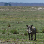 Parc Amboseli Phacochère