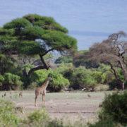 Parc Amboseli, Girafe