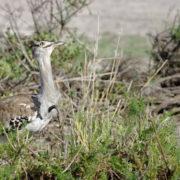 Parc Amboseli, Outarde Kori