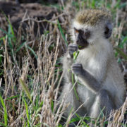 Parc Amboseli, Singe Vervet