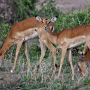 Parc Amboseli, Gazelle de Grant