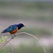 Parc Amboseli, Spréo superbe