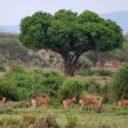 Kenya, Tsavo Est, Antilope Bubale