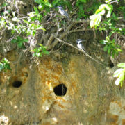 Kenya, Funzi, Martin pécheurs pie devant leurs nids
