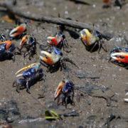 Kenya, Funzi, Crabes violonistes