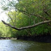 Kenya, Funzi, Dans la mangrove