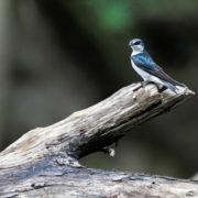 Notiochelidon cyanoleuca - Blue-and-white Swallow