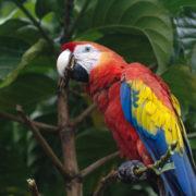 Ara macao, Scarlet Macaw