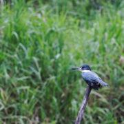 Chloroceryle amazona - Amazon Kingfisher