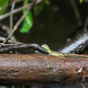 Basiliscus plumifrons, Plumed basilisk