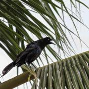 Nicaraguan GrackleQuiscalus nicaraguensis