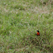 Sturnella militaris - Red-breasted Blackbird