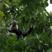 Cebus capucinus, white-throated capuchin