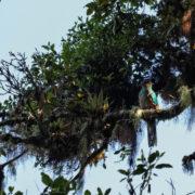 Difficile observation du Quetzal