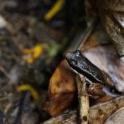 Allobates talamancae, Striped Rocket Frog