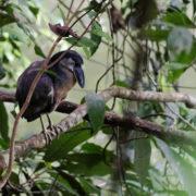 Savacou huppé (Cochlearius cochlearius)