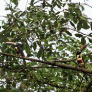 Araçari de Frantzius, Pteroglossus frantzii, Fiery-billed Aracari