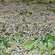 A l'atelier de soieries: Vers à soie au stade precoce. La chenille possède un gros appétit, elle mange en effet jour et nuit, exclusivement des feuilles de murier blanc