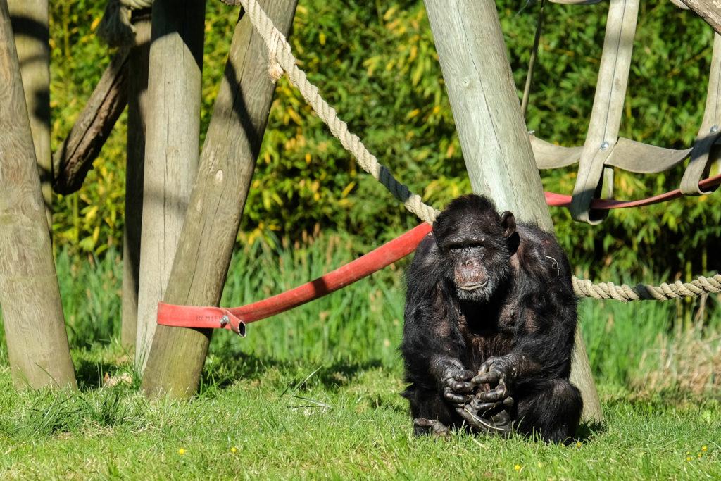 Joseph, mâle Chimpanzé