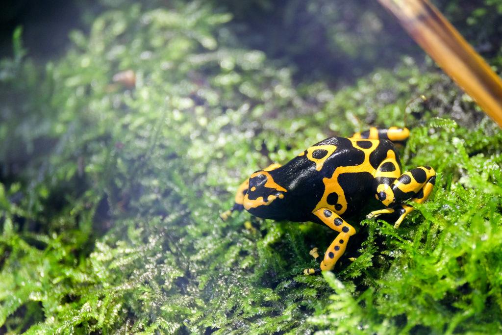 Rainette Jaguar (ou grenouille vénéneuse)