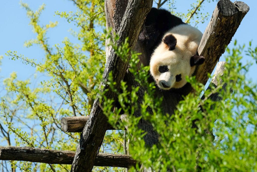 Yuan Zi, mâle Panda géant