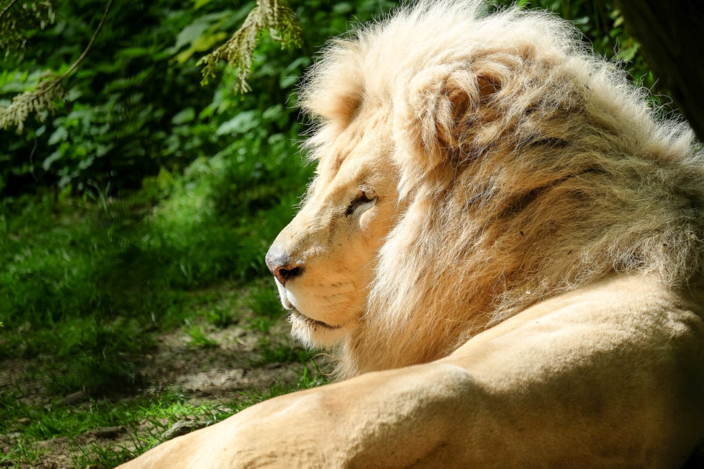 Kruger, lion d'afrique