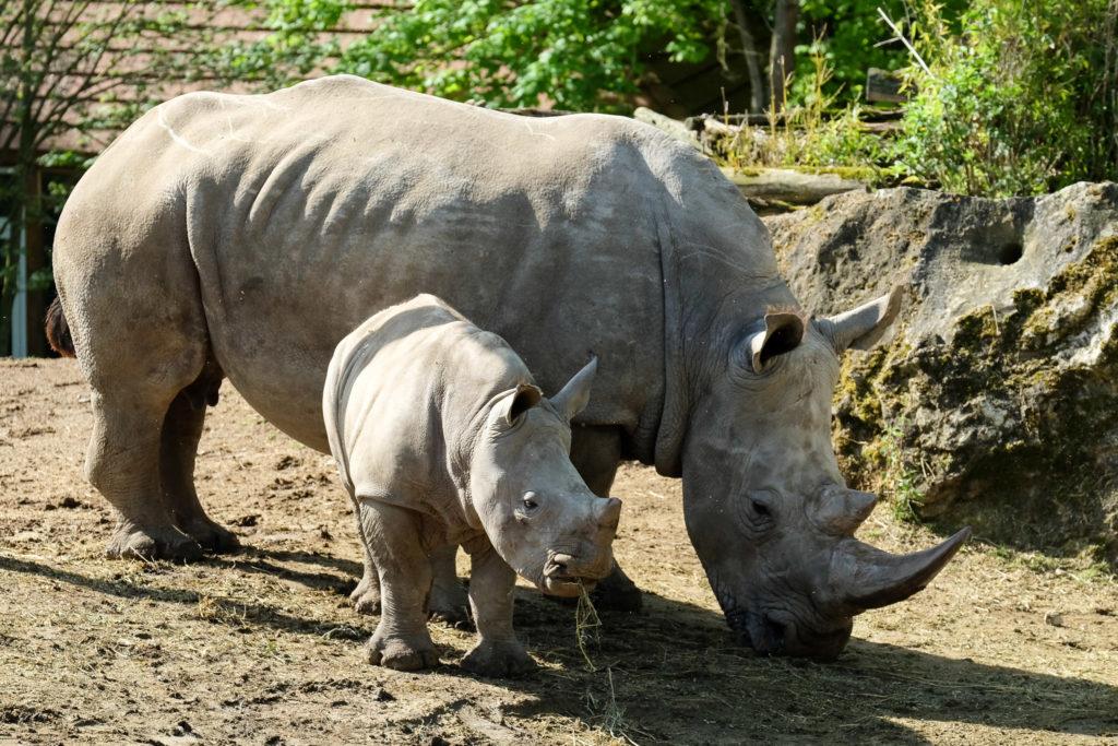 Satara, femelle rhinocéros blanc